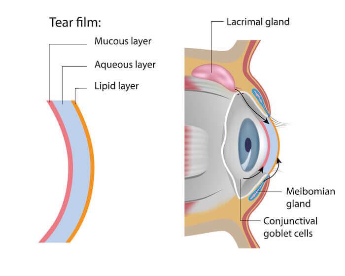 Meibomian gland and tear film diagram