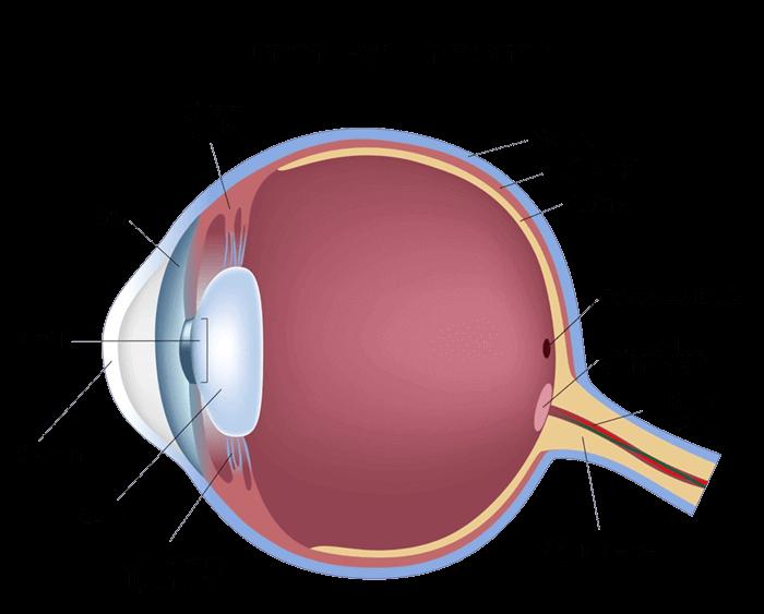 Diagram of Eye Anatomy