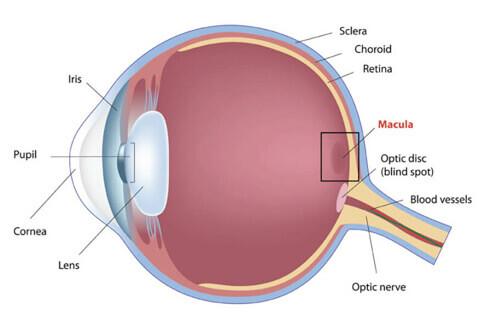 Eye diagram showing Macular